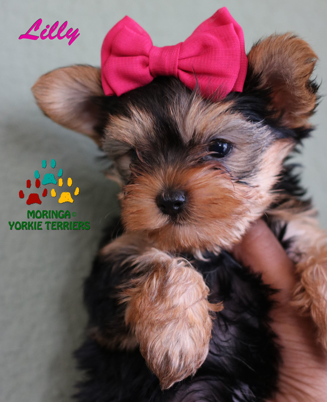 Yorkie Puppies For Sale Quality Teacup Toy Puppies Yorkies For Sale Southern Califorina Baby