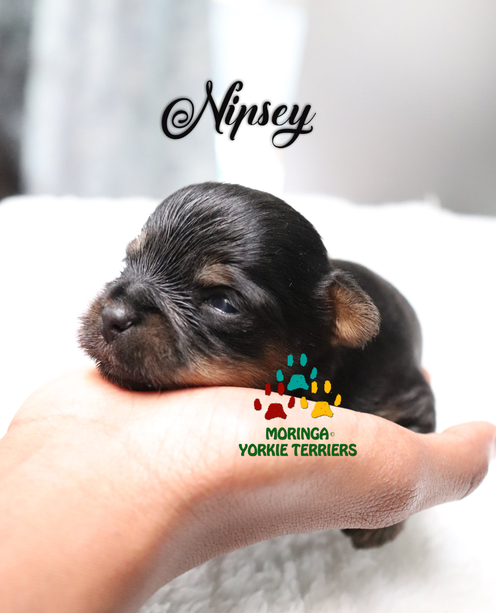 About Yorkies Blog Yorkie Puppies For Sale Quality Tiny Teacup Toy Puppies Yorkies For Sale Southern Califorina Boutique Baby Doll Face Best Yorkie Breeders Usa Moringa For Dogs Mirco Yorkies Colorful Yorkie Terriers Merle Yorkies Pet Financing Usa