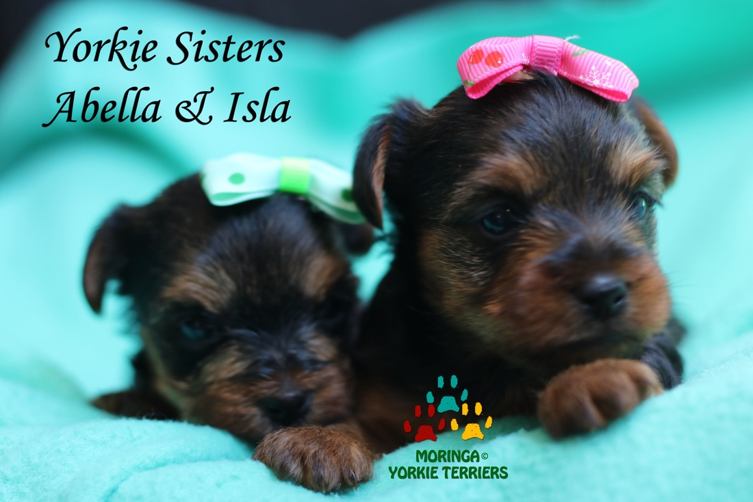 Yorkie Blog Yorkie Puppies For Salequality Teacup Toy Puppies