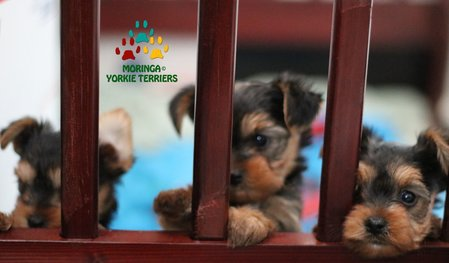 Available Yorkie Terrier Puppies *Parti Yorkie Puppies