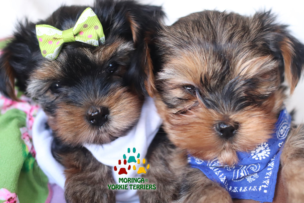 Available Yorkie Terrier Puppies Parti Yorkie Puppies