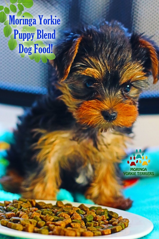 yorkie dog food moringa pet food yorkie puppies for sale quality teacup 2585