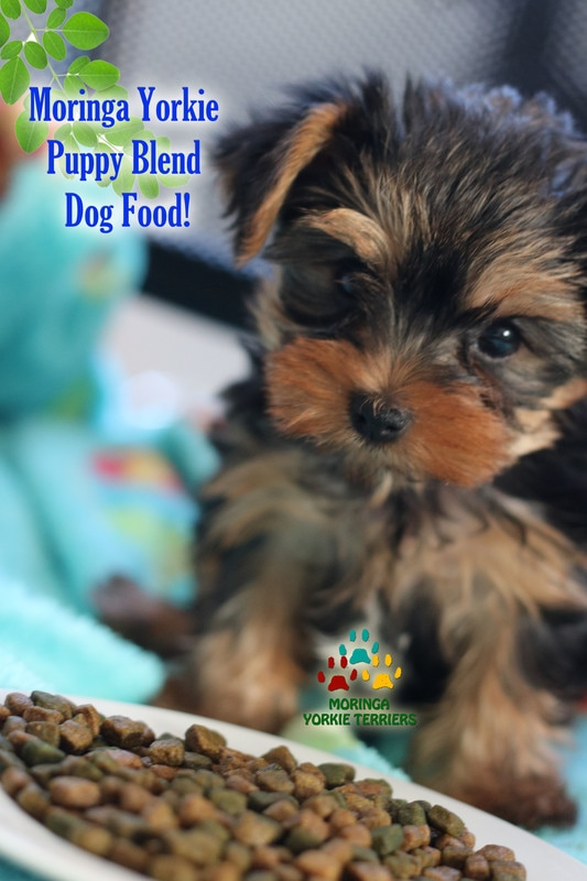 Yorkie puppies for sale teacuptoy dogsmoringa for dogs for Akc dog food