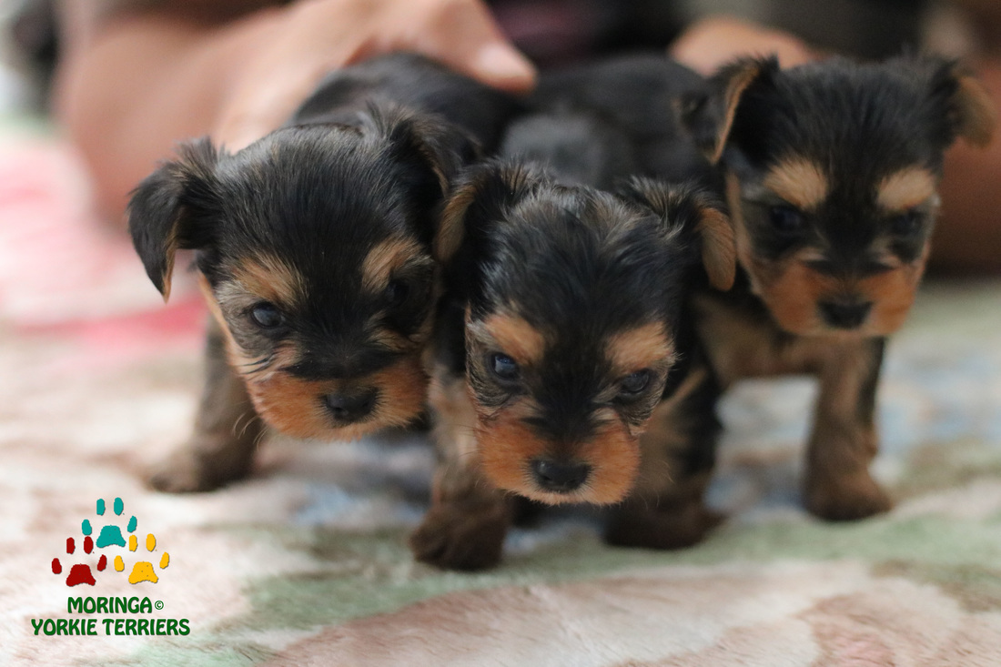Yorkie Puppies For Sale California Teacup Toy Puppies Near Me
