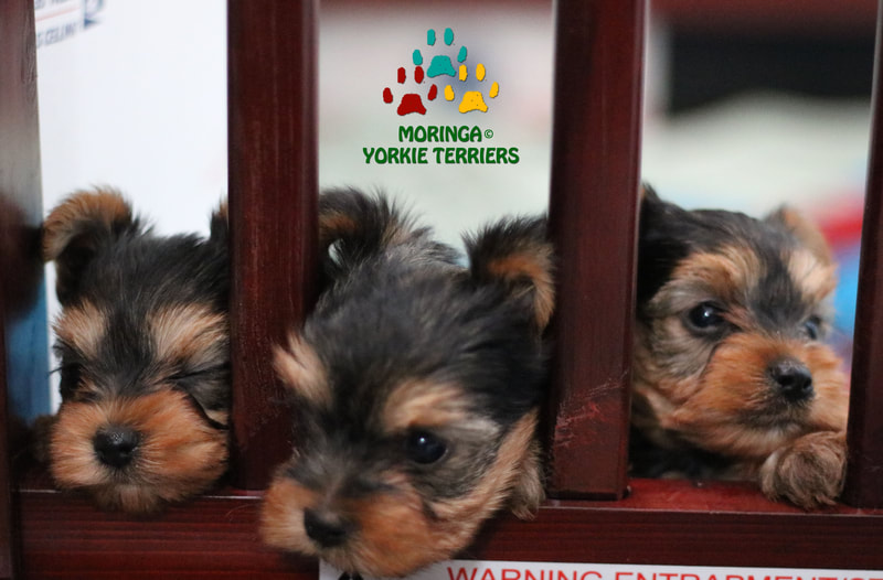 Yorkie Terrier Puppies For Sale Near Me Yorkie Puppies For Sale